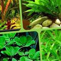 Аквариумные рыбки растения рачата какосы