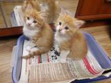 Прекрасные котята норвежской кошки